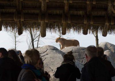 Lion enclosure Wildlands Adventure Zoo Emmen